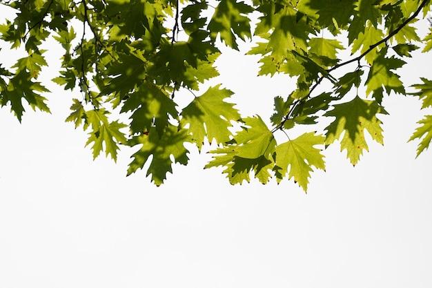 Foglie di platano di colore verde isolate su priorità bassa bianca. platanus orientalis, platano del vecchio mondo, piano orientale, grande albero a foglie decidue con testa globosa.