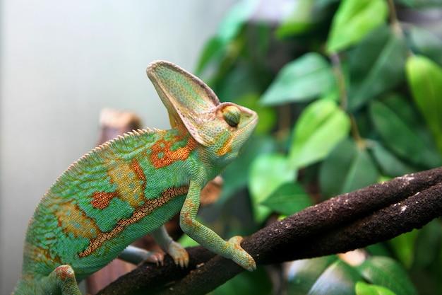 Camaleonte colorato verde seduto sul ramo di un albero - vista ravvicinata di animali selvatici.
