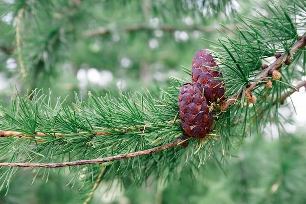 Pigne mature di cedro di conifere verdi sul concetto di ramo di albero che raccolgono e ricevono olio