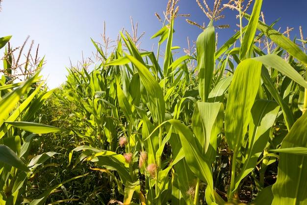 Mais verde su un campo agricolo