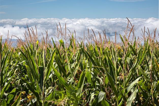Campo di grano verde nel giardino agricolo e il cielo nuvoloso all'alba in fondo alla montagna
