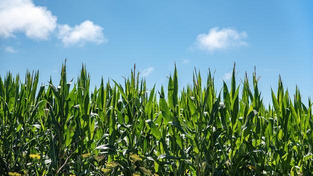 Campo di mais verde in crescita, dettaglio di mais verde sul campo agricolo