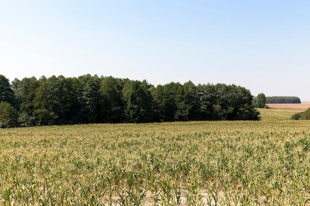 Foglie di mais verde che crescono sul territorio di un campo agricolo. cielo blu e foresta scura sullo sfondo