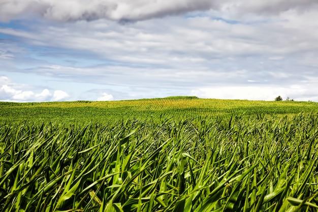 I germogli di mais verde in primavera o in estate, il mais in un campo agricolo, i chicchi di mais sono usati sia per cucinare cibo, mangime per bestiame e per la produzione di biocarburante ecologico etanolo, paesaggio