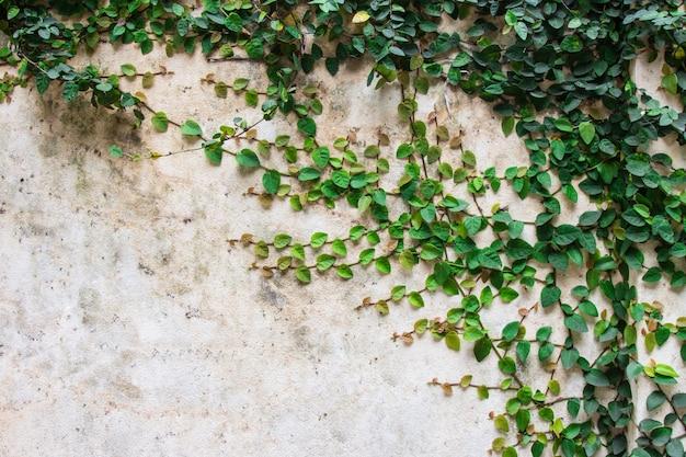 Pianta verde del rampicante sulla bella priorità bassa della parete del cemento