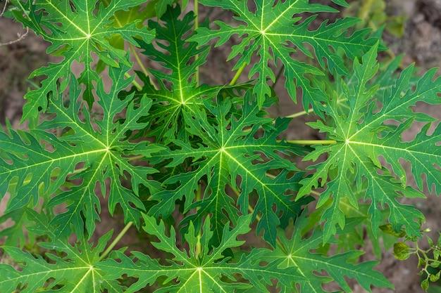 Pepaya verde di daun o foglia della papaia in natura