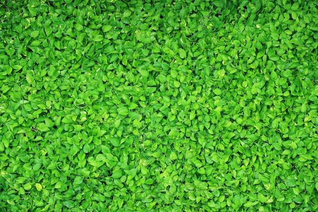 Piante di edera del diavolo verde con gocce d'acqua dopo l'irrigazione