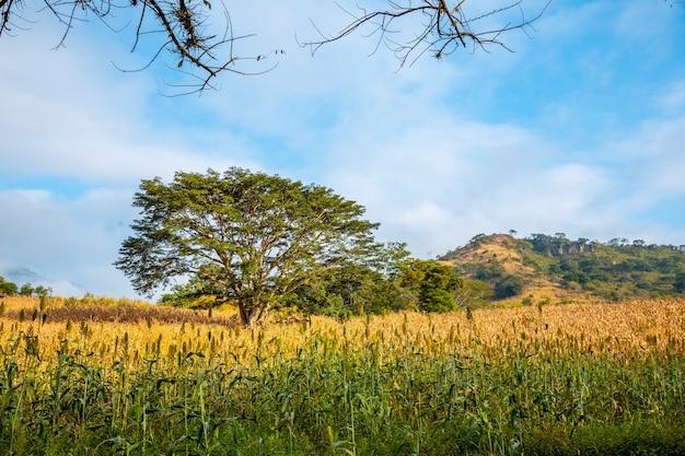 Un verde albero da favola in un campo di copan ruinas