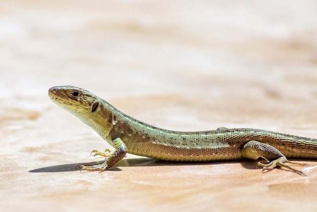 Lucertola femminile verde che cammina