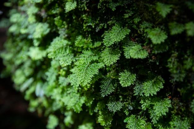 Natura di dettaglio felce verde nella foresta pluviale con muschio sulla roccia / pianta da vicino