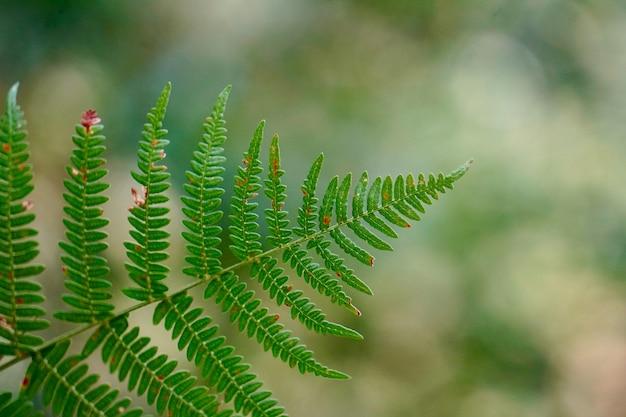 Foglia di felce verde nella natura nella stagione autunnale, sfondo verde