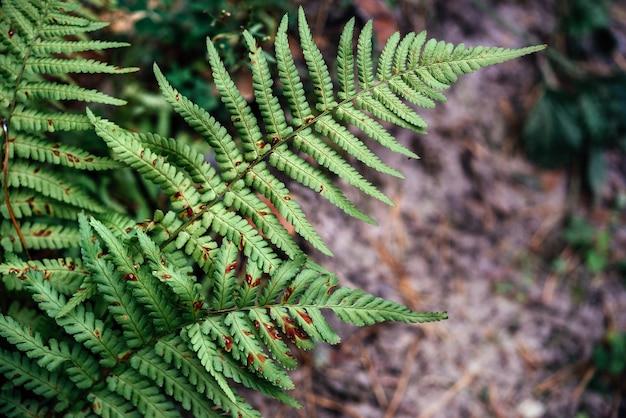 Foglie di felce verde nel primo piano della foresta autunnale