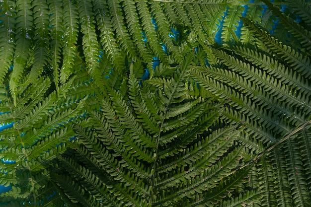 Foglie di felce verde su uno sfondo di acqua blu sotto luce naturale. vista dall'alto, piatto.