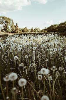 Campo verde di erba blowball tarassaco e cielo blu.