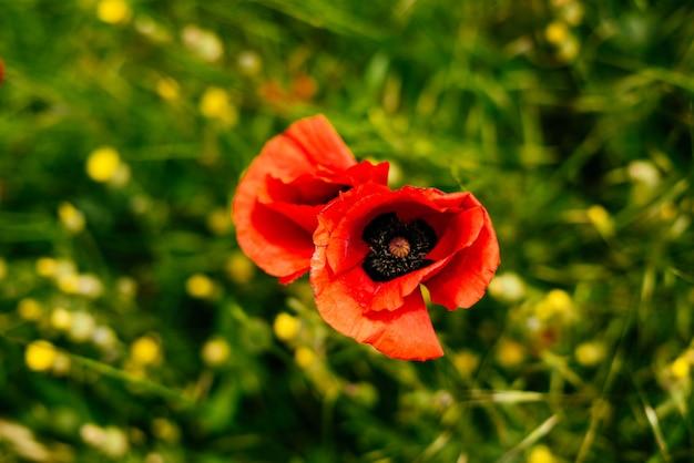 Sul campo verde crescono fiori profumati rossi