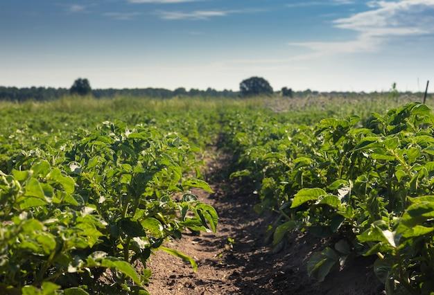 Campo verde di lussureggianti piante frondose e paesaggio di campagna dell'orizzonte del cielo in giornata di sole