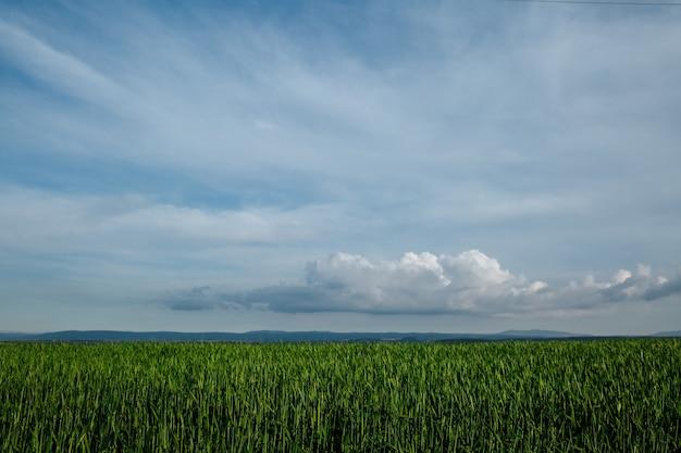 Campo verde e cielo con nuvole, erba in primavera sfondo, raccolto di cereali agricoli