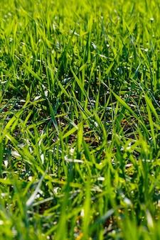 Un campo verde su cui cresce l'erba. paesaggio agricolo in estate