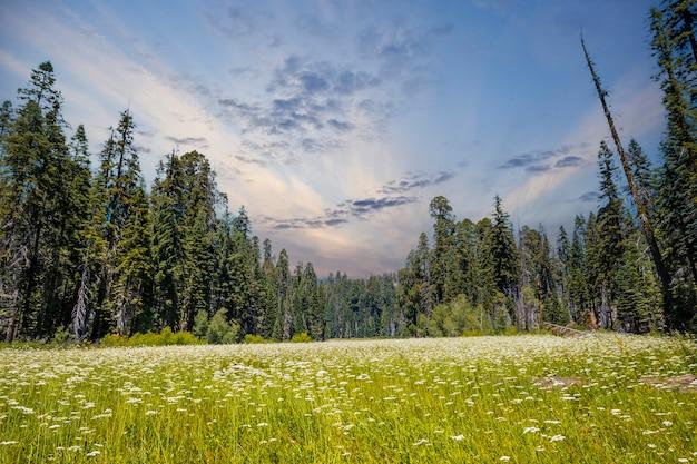 Un campo verde con molte sequoie sullo sfondo nel parco nazionale di sequoia al tramonto, california