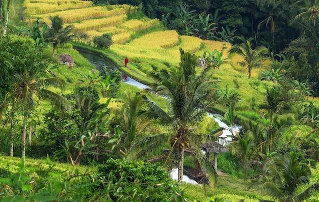 Campi verdi in indonesia. paesaggi tropicali.