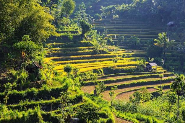Campi verdi in indonesia
