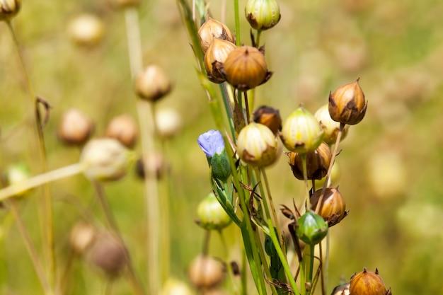 Lino verde pronto per la raccolta, un campo agricolo dove cresce il lino, che viene utilizzato per la produzione di tessuti di lino