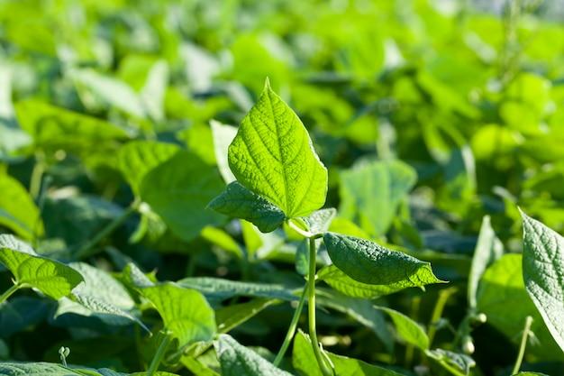 Fogliame verde di fagioli di asparagi nel campo