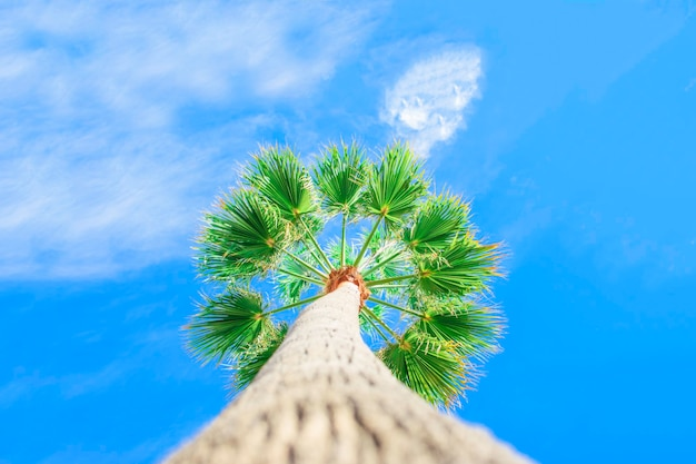 Fogliame verde di alte palme sullo sfondo del cielo blu. livistona rotundifolia o palma a ventaglio.