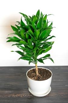 Pianta da appartamento isolata pianta fragrante verde della dracaena, concetto domestico della decorazione