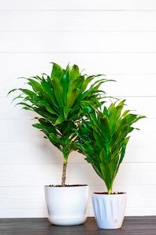 Pianta di dracaena profumata verde isolata su priorità bassa bianca sulla tavola di legno