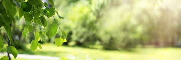 Foglie di betulla fresche verdi su uno sfondo sfocato alla luce del sole