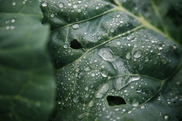 Il cavolo verde fresco cresce nel giardino. grandi foglie di cavolo sono bagnate dalla pioggia.