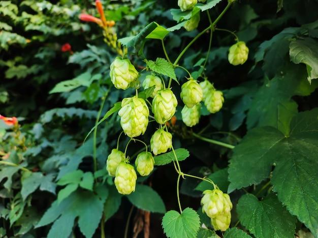 Coni di luppolo freschi verdi che crescono sul campo, ingredienti che producono birra o pane