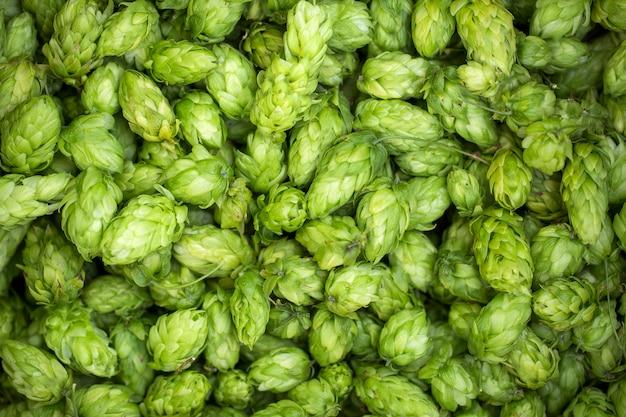 Coni di luppolo freschi verdi per produrre alto vicino della birra e del pane