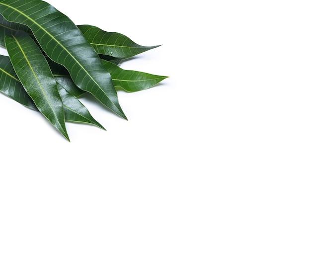 Foglie di mango fresco verde isolato su sfondo bianco, bella trama della vena in dettaglio
