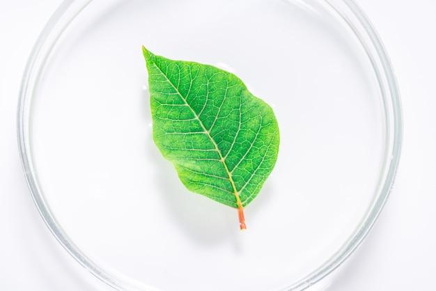 Foglia naturale fresca verde nel piatto del laboratorio, vassoio
