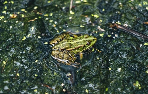 Rana verde in una palude, primo piano.