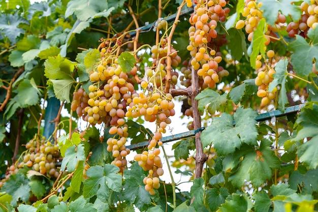 Uva verde con foglie raccolte. raccolta di frutti d'uva verde matura in natura per cibo e vite in autunno. barriere verdi dell'uva moscato che crescono sul vino in vigna.