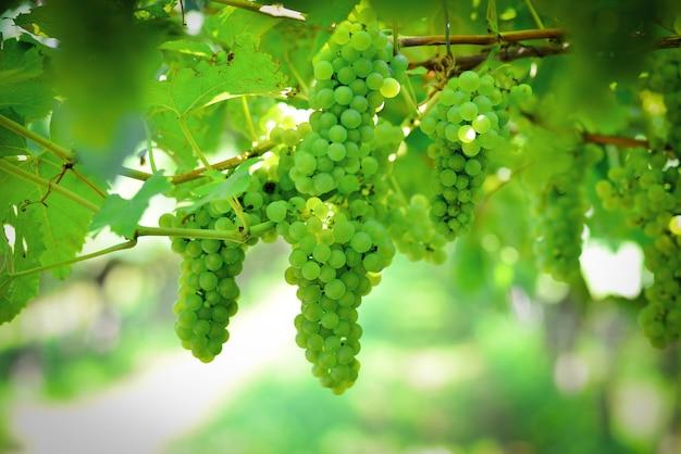 Maturazione dell'uva verde