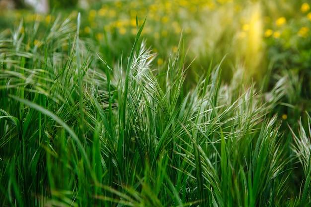 Erba verde in un campo natura fresca all'aperto sfondo verde natura sfondo