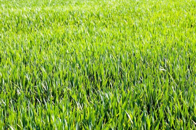 Paesaggio di erba verde