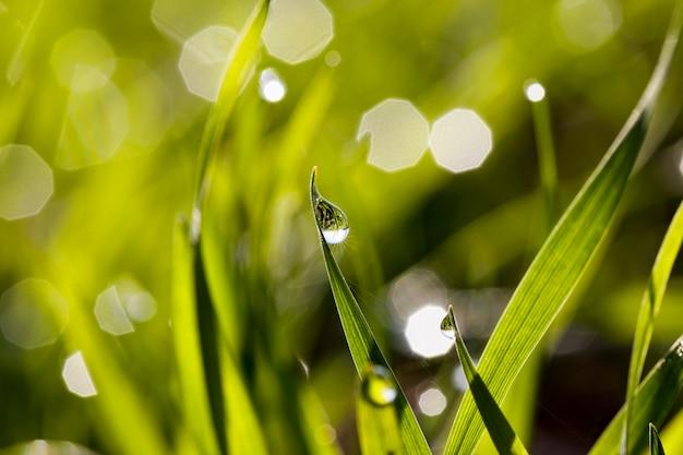 Erba verde illuminata dalla luce solare con gocce di rugiada o pioggia, che riflettono un campo con erba verde, primo piano in natura