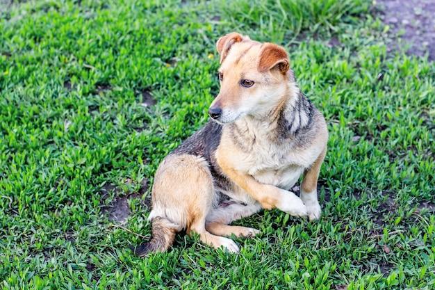 Sull'erba verde sdraiato cane con un piede infortunato. crudeltà verso gli animali_