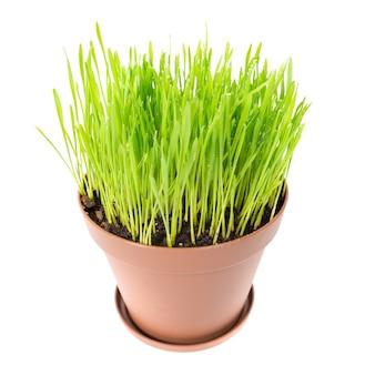 Erba verde nel vaso della pianta isolato su sfondo bianco