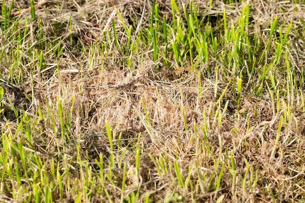 Erba verde germogliata attraverso erba secca, tagliaerba, primavera, primo piano, piccola profondità di campo