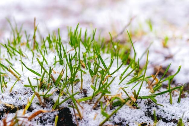 L'erba verde germoglia da sotto la neve