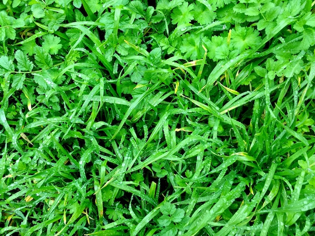 Erba verde con gocce di rugiada