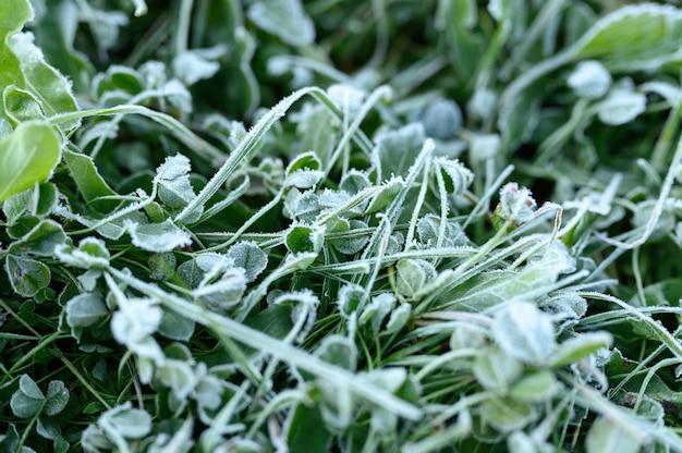 Erba verde con brina mattutina in giardino da vicino