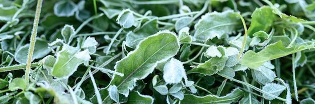 Erba verde con brina mattutina in giardino, erba congelata con gelo sul prato all'alba. modello strutturato di sfondo naturale. striscione