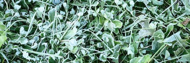 Erba verde con brina mattutina in giardino, erba congelata con gelo sul prato all'alba. modello strutturato di sfondo naturale. vista dall'alto. striscione